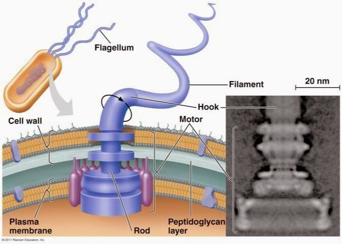 MECHANICALbetterflagella